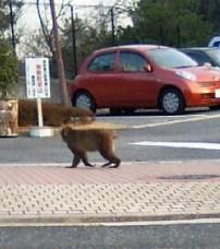 散歩する猿