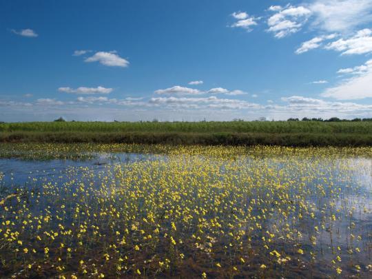 湿地の黄色い小花