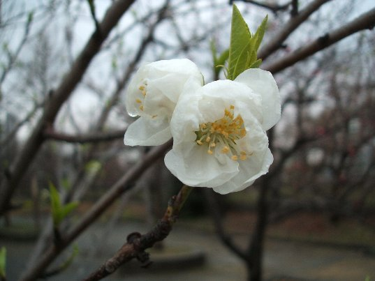 桃(白色)