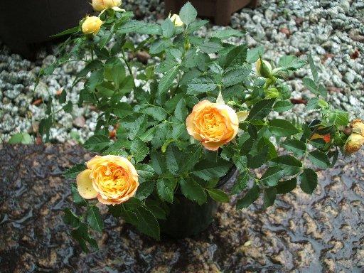 不明の黄色いバラ