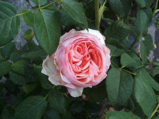 不明のピンクのバラ