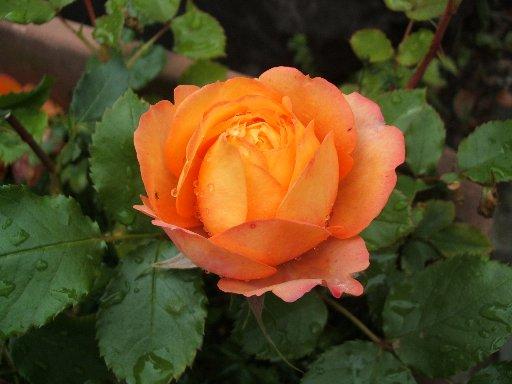 不明のオレンジのバラ