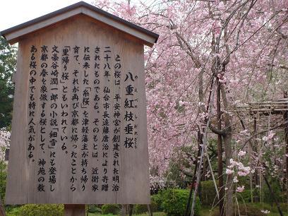 平安神宮 八重紅枝垂桜