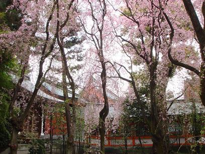 京の桜は風情がある