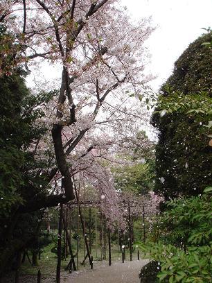 平安神宮 桜吹雪