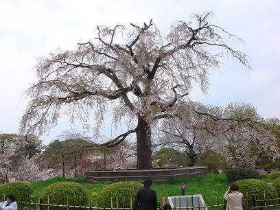 円山公園・紅枝垂桜