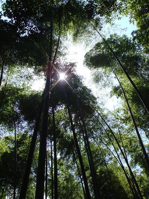 嵯峨野。竹林の小径・逆光