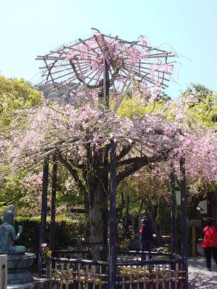 仏野念仏寺・桜