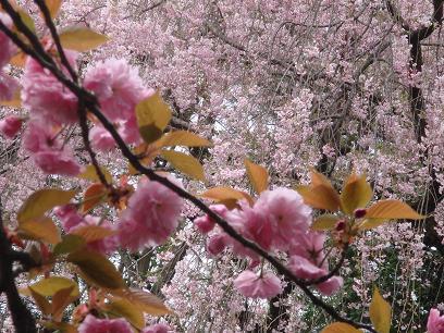 やはり見事な神苑の桜