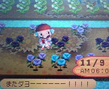 青バラ咲いた2