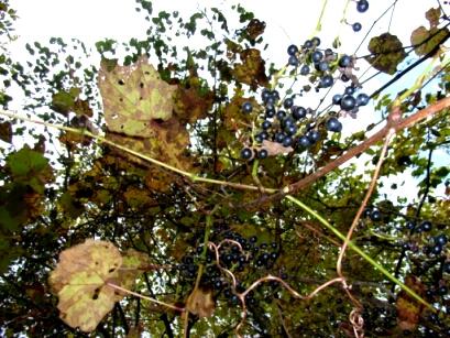 2007.10_grape5.jpg
