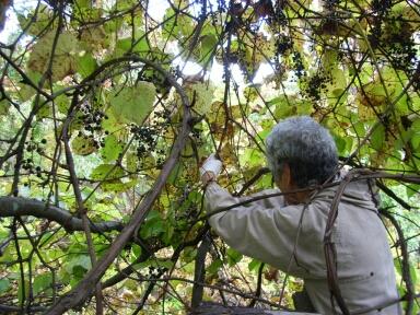 2007.10_grape8.jpg