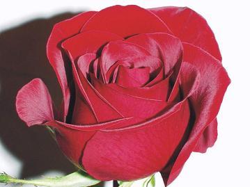 scarlet-rose060613.jpg