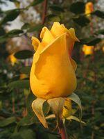 IMG_3337黄薔薇