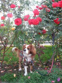 IMG_3340薔薇1