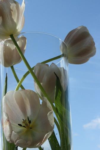 tulipwithbluesky