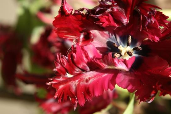 tulip042202