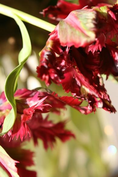 tulip042201