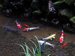 「菊の井」錦鯉-グルメレポーター修行の日々-