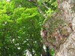 木の上に木が!