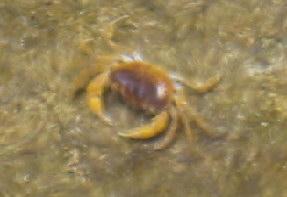栃木沢の沢蟹