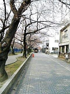 桜はまだでした・・・。つぼみだった。