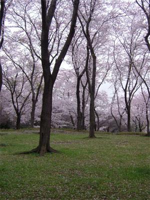 根岸森林公園の桜の林