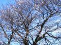 8分咲きのソメイヨシノ