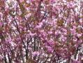 八重桜・2