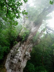 20060905-21-縄文杉2