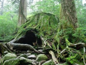 20060906-03-ウィルソン杉