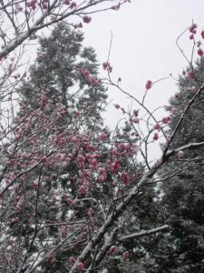 20070311ナギ-梅雪