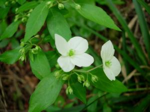 20070527白い花