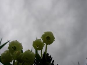 アオノツガザクラ風の内側