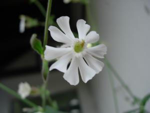 白い花・愛山渓