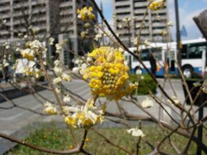 20070308柳川ミツマタ