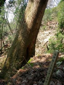 20070408滝山三光スギ