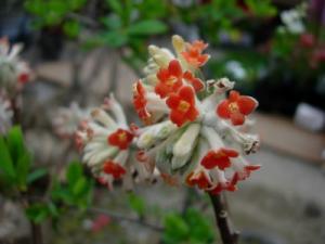 20070415橙ミツマタ