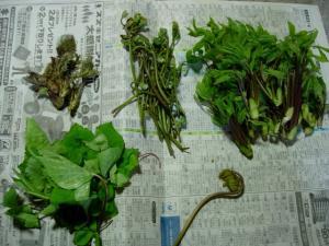 20070428山菜たち