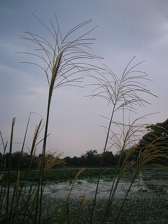 大沢池のススキ