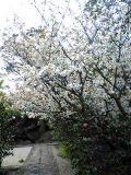 桜満開:1