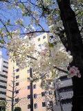 桜満開:3