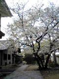 桜満開:2