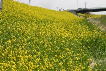 秋山川の菜の花