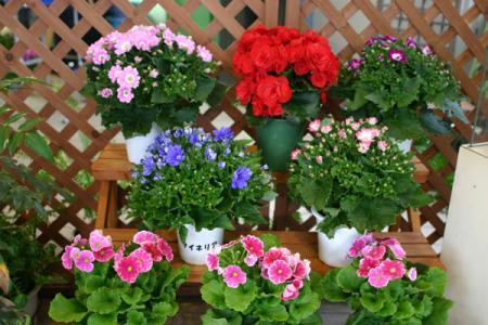 早春の鉢花展