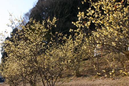 羽黒山の蝋梅