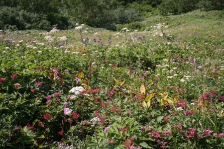 八方尾根の花畑