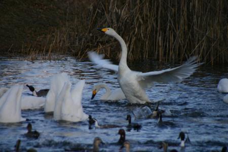 羽田沼の白鳥2