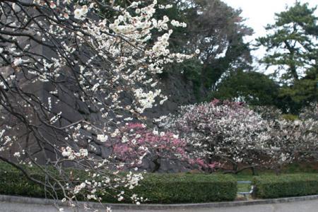 皇居東御苑の梅