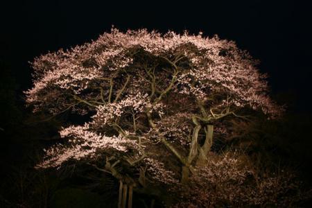 慈光寺赤門の桜